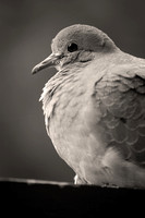 Mourning Dove in Profile